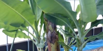 神バナナ!農園日誌#74